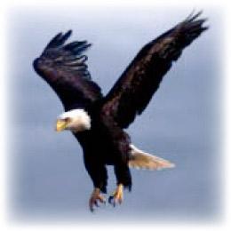 Hudson River Bald Eagle